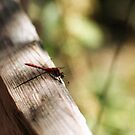 Dragonfly on the Split Rail Fence by Steven Newton