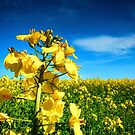 Oilseed Flowers by domwlive