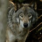 Timber Wolf by Heather King