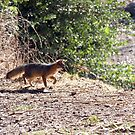 Channel Island Fox (Urocyon littoralis), Santa Cruz Island, California by Douglas E.  Welch