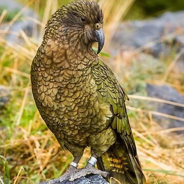 New Zealand Kea perched on rock #1 by Frogvision