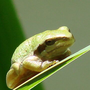 Pacific Tree Frog by tkrosevear