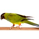 Black Headed Conure - Nandayus nenday by Tim Miller