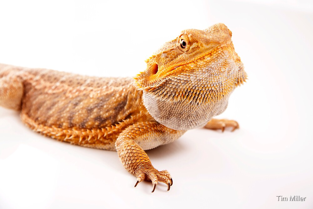 """Central Bearded Dragon - Pogona vitticeps"" by Tim Miller ..."