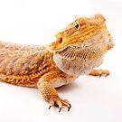 Central Bearded Dragon - Pogona vitticeps by Tim Miller