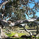 A Huge low limb of River Red Gum, resting on it's Laurels.  by Rita Blom