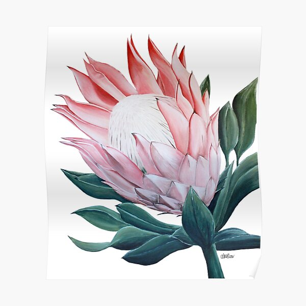 King Protea Flower Painting Poster