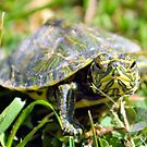 Baby Painted Turtle by Dawne Dunton