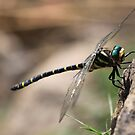 Yellow, black and green dragonfly by derbyshireduck