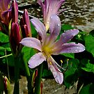 Resurrection flower, Belladonna lily, Naked lady by Brad Chambers