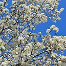The Callery Pear Tree by Dawne Dunton
