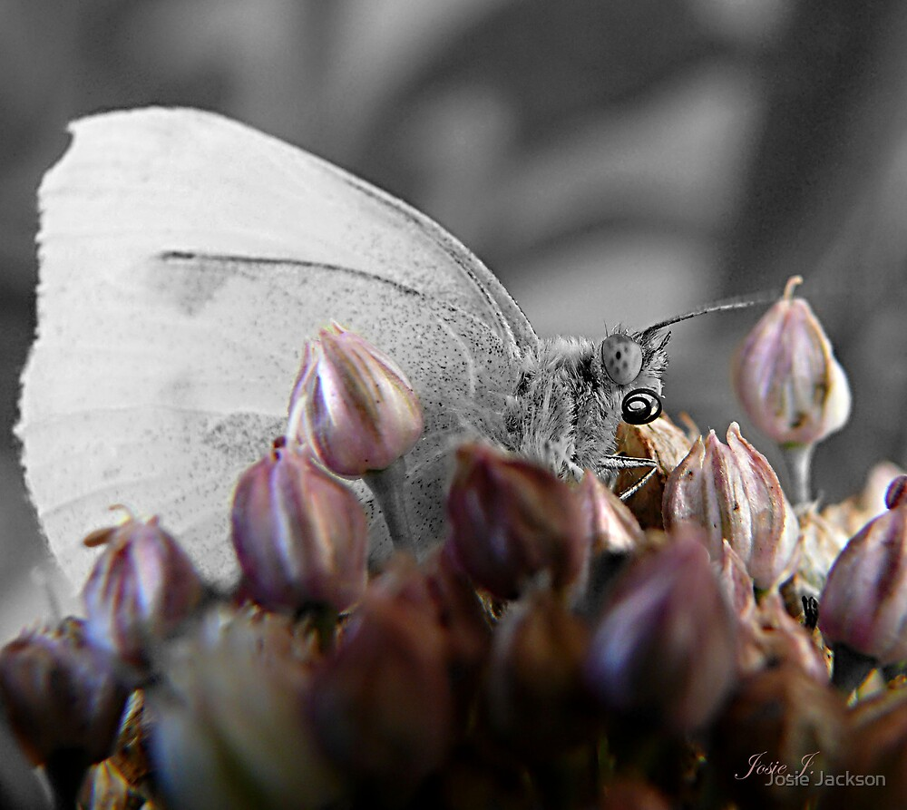 White Butterfly by Josie Jackson