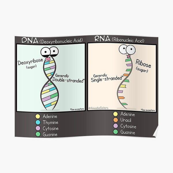 DNA vs RNA Poster Poster
