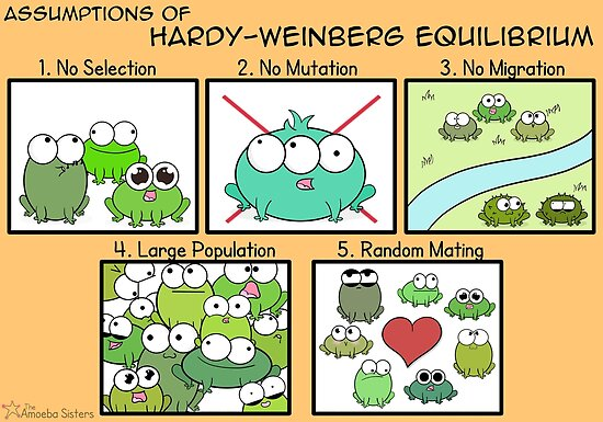 Assumptions of Hardy-Weinberg Equilibrium by amoebasisters