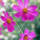 Mexican Aster by Kasia-D