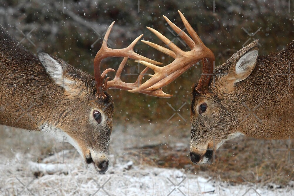 Clash of the Titans - White-tailed deer by Jim Cumming