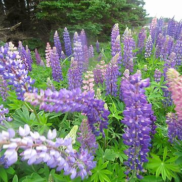 A Sea of Lupins,  Cape Traverse, PEI by Shulie1