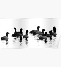 Coots Poster