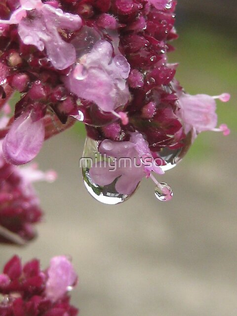oregano flower caught in rain by millymuso
