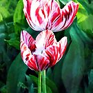 Elegant Red and White Striped Tulips by Susan Savad