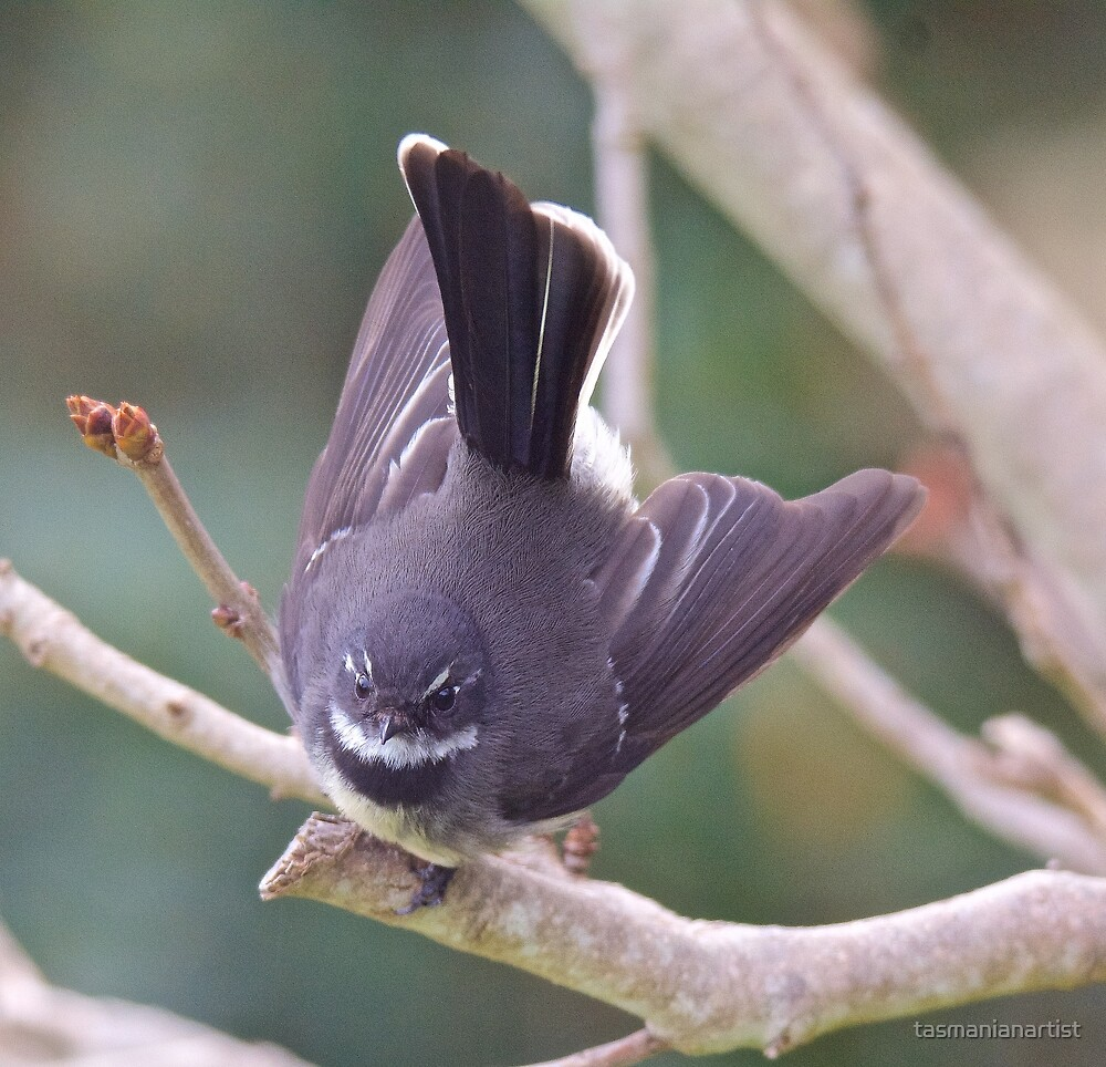 FANTAIL ~ Grey Fantail by David Irwin by tasmanianartist