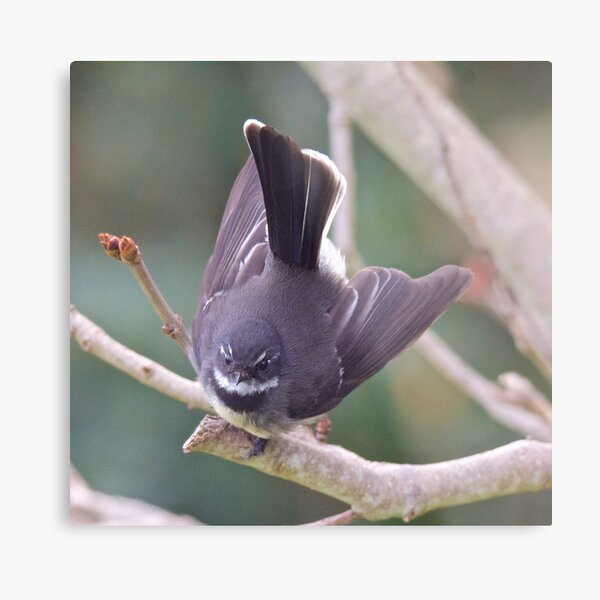 FANTAIL ~ Grey Fantail MNePKwLZ by David Irwin ~ WO Metal Print