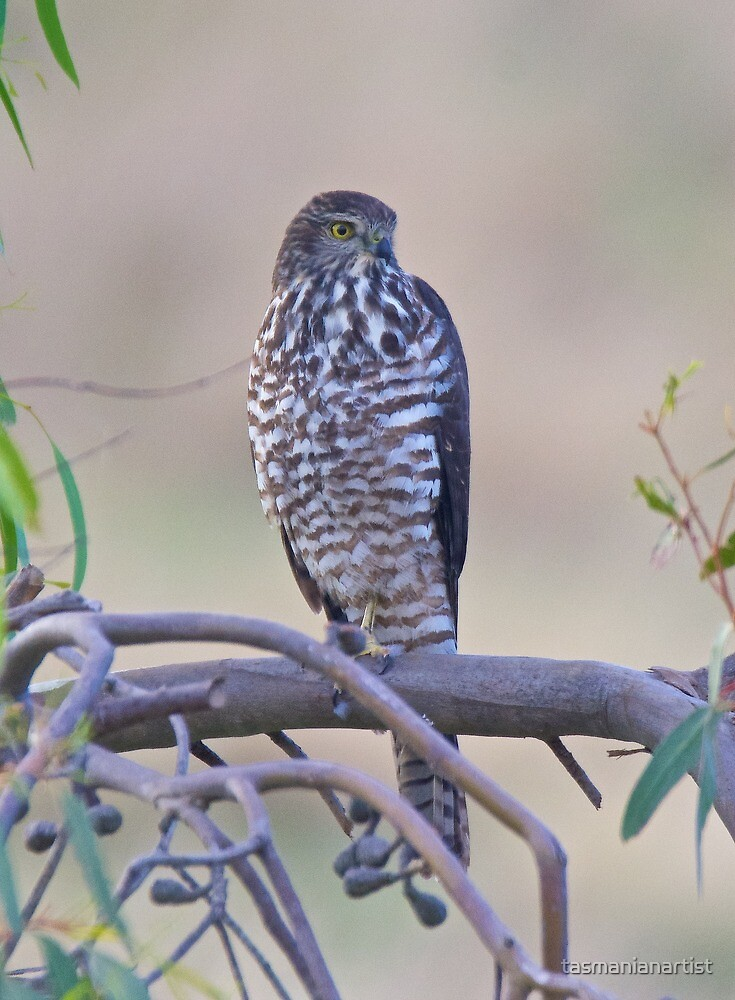 RAPTOR ~ Collared Sparrow-hawk by David Irwin by tasmanianartist