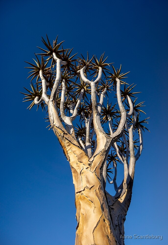 Aloe tree. by Anne Scantlebury