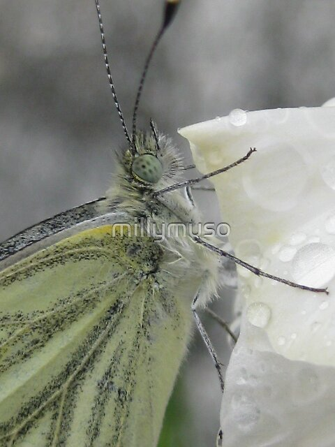 little butterfly by millymuso