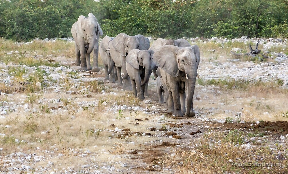 Elephants in a line. by Anne Scantlebury