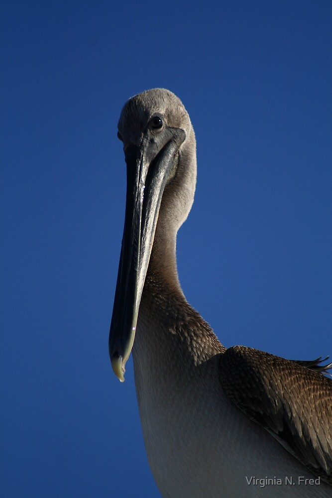 Shy Pelican by Virginia N. Fred