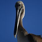 Shy Pelican by Virginia N. Fred