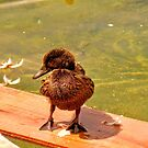Surfing duckling! by Barbara Caffell