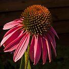 Echinacea by Bryan D. Spellman