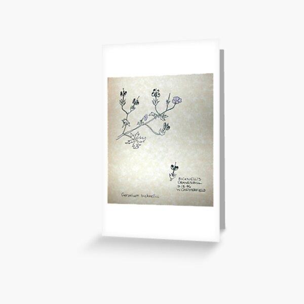 Bicknell's Cranesbill-Geranium bicknelli Greeting Card
