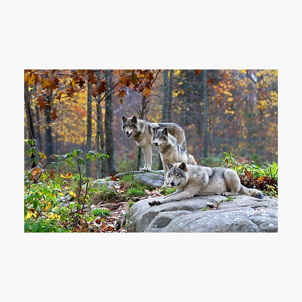 Timber Wolves in Autumn Photographic Print