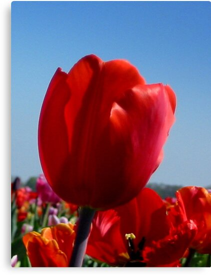 Happy Red Tulip by ienemien