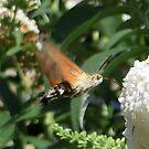 Hummingbird hawk-moth by ienemien