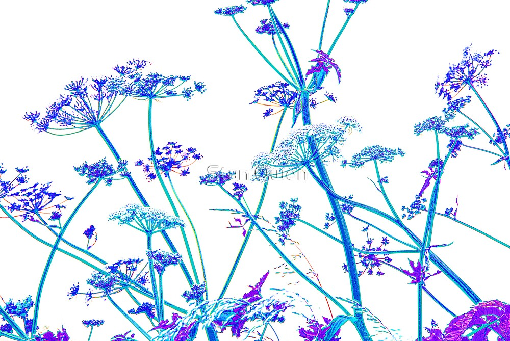 Blue Cow Parsley. by Stan Owen