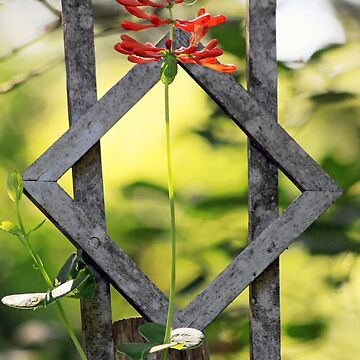 Honeysuckle - Antique Trellis by rural-guy
