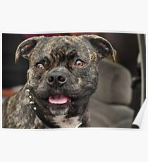 Pit Bull Pug, Canines in Cars Poster