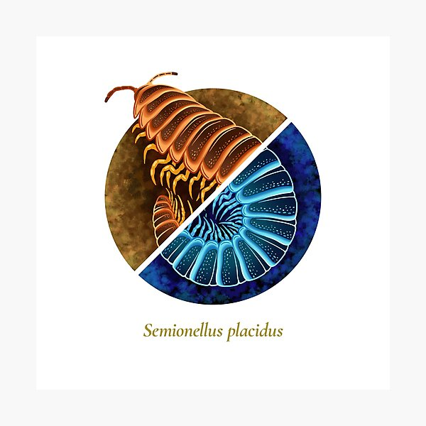 The Circles of Life: Semionellus placidus Photographic Print