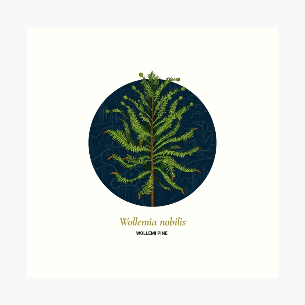 The Circles of Life: Wollemi Pine Art Print