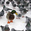 Duck amongst the Pigeons! by j442000