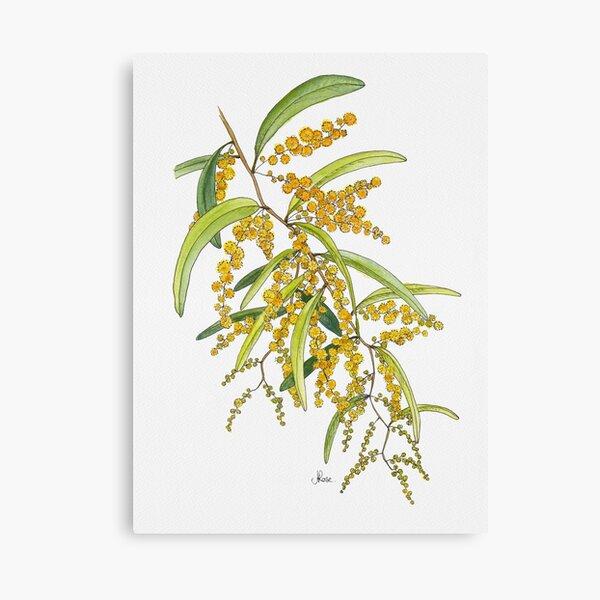 Australian Wattle Flower, Illustration Canvas Print