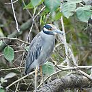 Native bird by dhjorleifsson