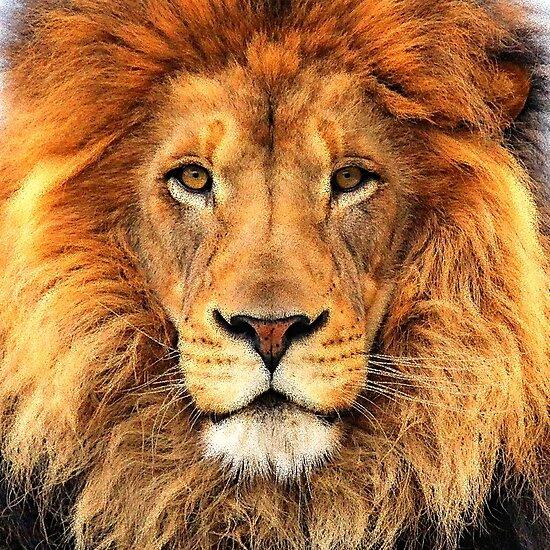 Beautiful Lion Face Wild Cat Glare by LC Graphic Design Studio