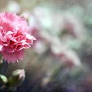 Carnation by Amanda White