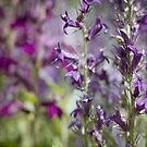 Purple Parade by Amanda White