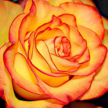 Orange Rose by bloomingvine